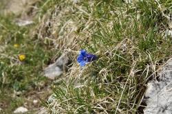 Blau blau blau blüht der Enzian